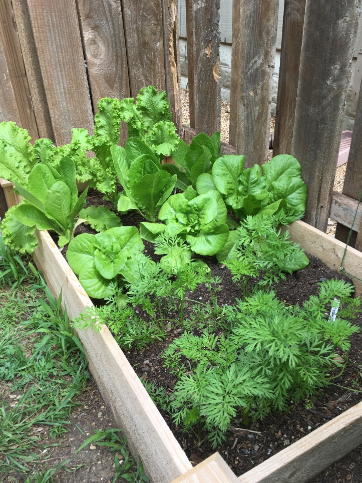 Raised Bed Garden Mustard Greens